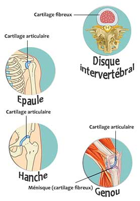 articulations cartilages